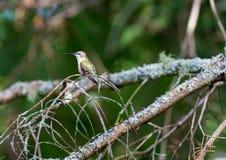 红宝石红喉刺莺的蜂鸟女性 免版税库存照片
