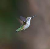 红宝石红喉刺莺的蜂鸟女性 免版税库存图片