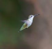 红宝石红喉刺莺的蜂鸟女性 免版税图库摄影