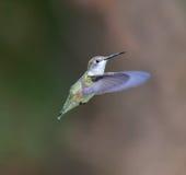 红宝石红喉刺莺的蜂鸟女性 图库摄影