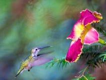 红宝石红喉刺莺的蜂鸟女性 库存照片