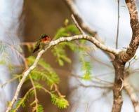 红宝石红喉刺莺的蜂鸟男性 库存图片