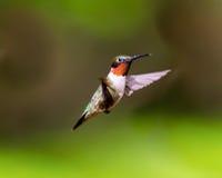 红宝石红喉刺莺的蜂鸟男性 免版税库存图片
