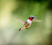红宝石红喉刺莺的蜂鸟男性 免版税图库摄影