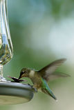 红宝石红喉刺莺的蜂鸟-未成熟的男性 免版税库存照片