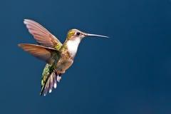红宝石红喉刺莺的蜂鸟 库存照片