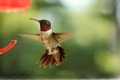红宝石红喉刺莺的蜂鸟 库存图片