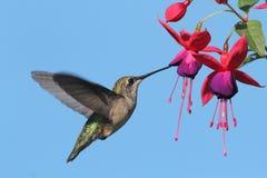 红宝石红喉刺莺的蜂鸟 免版税库存图片
