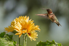 红宝石红喉刺莺的蜂鸟 免版税图库摄影
