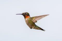 红宝石红喉刺莺的蜂鸟 免版税库存照片