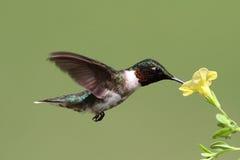 红宝石红喉刺莺的蜂鸟(archilochus colubris) 库存图片