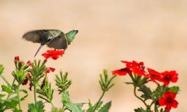 红宝石蜂鸟我采撷您 库存图片