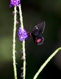 红宝石被察觉的Swallowtail蝴蝶 库存照片