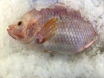 红宝石鱼 库存照片