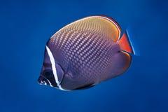 红尾鱼蝴蝶鱼 库存照片