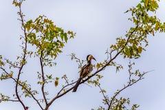 红开帐单的犀鸟在一个树枝栖息在克留格尔国家公园 免版税图库摄影