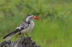 红开帐单的犀鸟(Tockus rufirostris)在克留格尔国家公园 库存图片