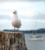 红开帐单的鸥在新西兰 免版税库存图片