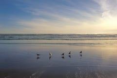 红开帐单的鸥编组身分在piha海滩,新西兰 库存照片