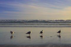 红开帐单的鸥编组身分在piha海滩,新西兰 库存图片