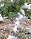 红开帐单的鸥鸥属novaehollandiae的联接的显示在Otago半岛的殖民地,新西兰 库存照片