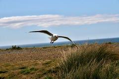 红开帐单的鸥,在飞行中鸥属novaehollandiae,南岛新西兰 库存图片