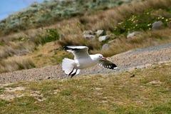 红开帐单的鸥,在飞行中鸥属novaehollandiae,南岛新西兰 免版税库存图片