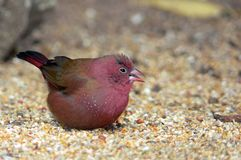 红开帐单的firefinch (Lagonosticta senegala) 库存图片