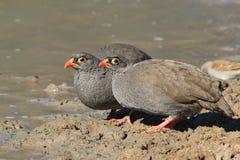 红开帐单的Francolin -从非洲的野生鸟-好用羽毛装饰的朋友 免版税库存照片