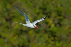 红开帐单的Tropicbird,费顿aethereus,从加勒比的稀有人物 飞行Tropicbird有绿色森林背景 白色Tro 库存照片