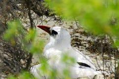 红开帐单的Tropicbird - Aitutaki盐水湖库克群岛 免版税库存图片