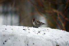 红弱鸟 免版税图库摄影