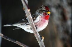 红弱鸟 库存照片