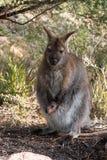 红收缩的鼠或Bennett& x27; s鼠-有她的joey的女性 免版税库存图片