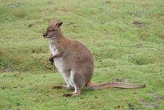 红收缩的鼠-大袋鼠属rufogriseus 库存照片