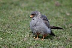 红有脚的猎鹰,游隼科vespertinus 库存照片