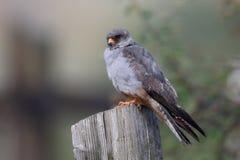 红有脚的猎鹰,游隼科vespertinus 库存图片