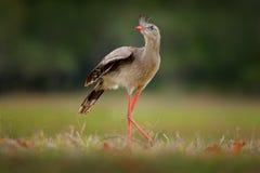 红有腿的Seriema, Cariama cristata,潘塔纳尔湿地,巴西 从巴西自然的典型的鸟 鸟在草草甸,长的红色腿 T 库存图片