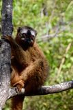红朝向的棕色狐猴, Isalo NP,马达加斯加 免版税图库摄影