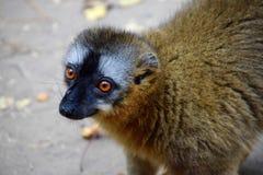 红朝向的棕色狐猴, Isalo NP,马达加斯加 免版税库存图片