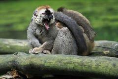红朝向的棕色狐猴 库存照片