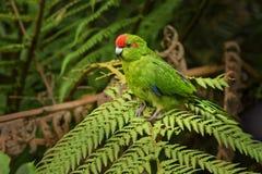 红朝向的长尾小鹦鹉- kakariki - Cyanoramphus novaezelandiae地方性鸟坐典型的新西兰蕨 库存照片
