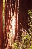 红木在下午的树干 库存照片