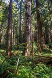 红木树丛 库存图片