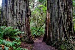 红木树之间的道路 免版税图库摄影