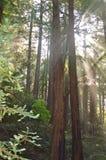 红木树 免版税图库摄影