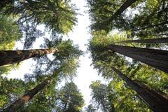 红木森林,加利福尼亚北部 图库摄影