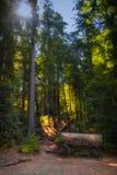 红木采伐 库存图片
