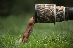 红松鼠。 库存图片