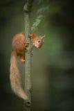 红松鼠上升。 图库摄影